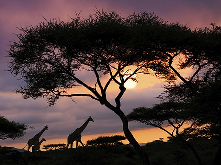 Fototapeet AFRICAN SAFARI