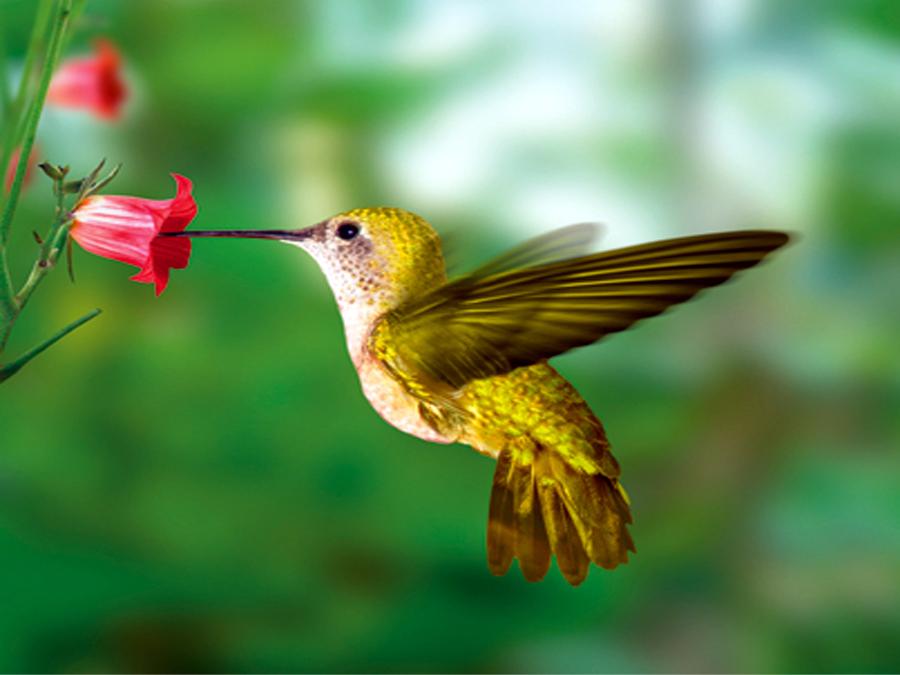 Fototapeet YELLOW HUMMINGBIRD